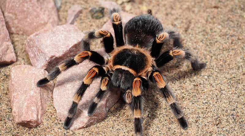 Viven en México cinco por ciento de las arañas del mundo