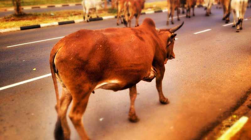 Congreso del estado solicita un programa de prevención de accidentes por ganado suelto en carreteras