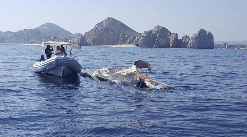 Crucero arrastra ballena muerta a bahía de CSL