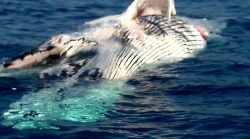 Alerta Capitanía de Puertos por ballena muerta en bahía de CSL