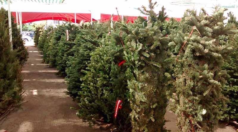 No habrá centro de acopio para arbolitos de navidad  este año