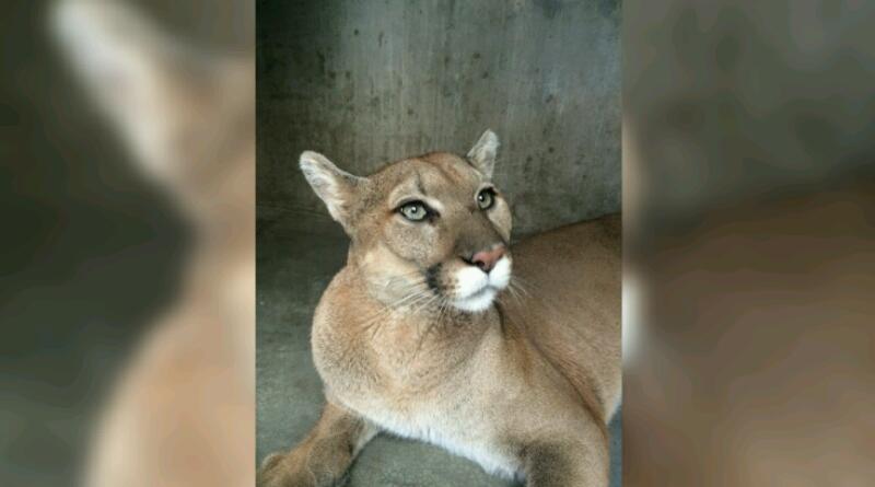 Traslada Profepa puma de La Paz al zoológico de Ensenada