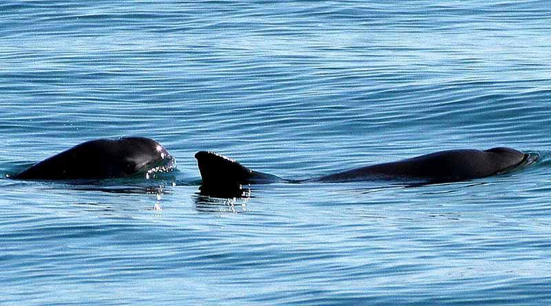 Apoya Museo de la Ballena de La Paz en retiro de redes de pesca abandonadas en reserva de la vaquita marina