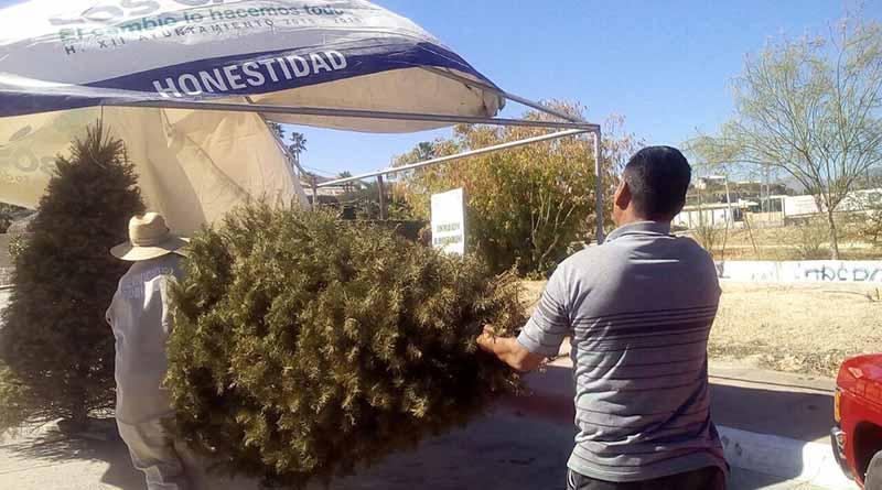 Intercambia Gobierno Municipal árbol navideño por árbol para reforestar