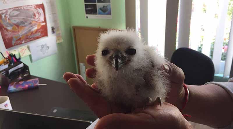 Rescata Profepa a cría de águila pescadora en Estero SJC