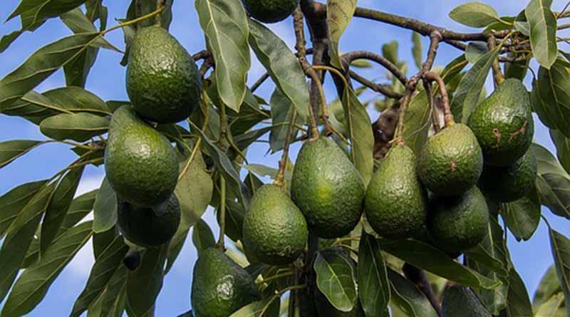 Clausurados predios forestales que se usaron para cultivar aguacate