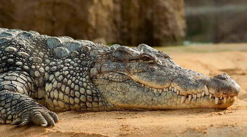 Capturan y reintegran a cocodrilo de pantano en su hábitat, en Tamaulipas