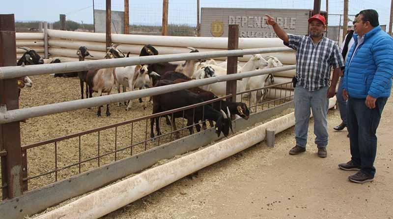 Impulsa Gobierno estatal desarrollo de la caprinocultura