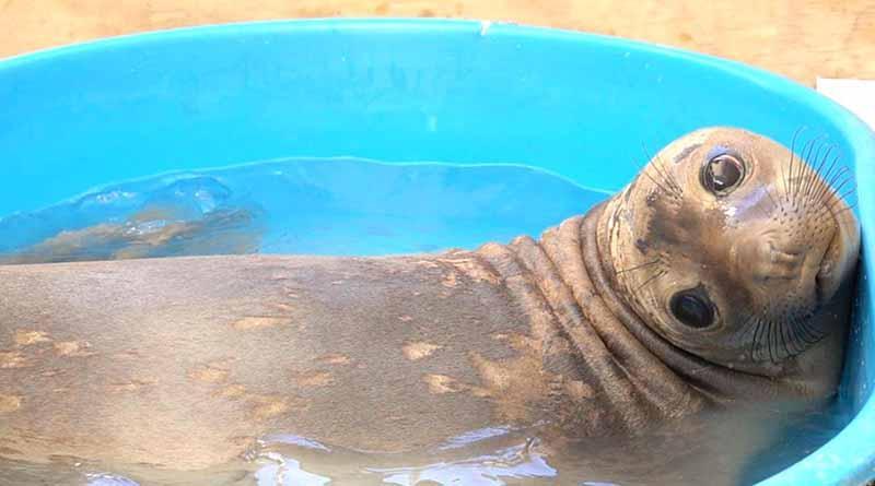Regresa Profepa elefante marino a su habitat natural