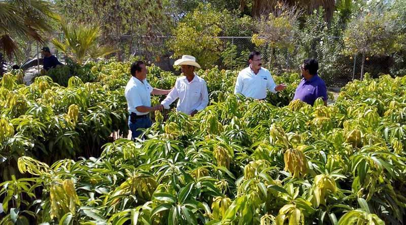 Más de 23 mil plantas de mango y aguacate a productores cabeños