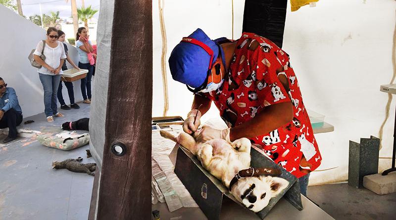 Más de medio millar de mascotas fueron esterilizadas por la SSA de BCS en Comondú y Loreto
