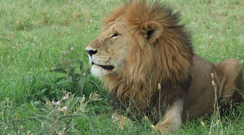 Procuraduría ambiental asegura león africano senil en zoológico de Guanajuato