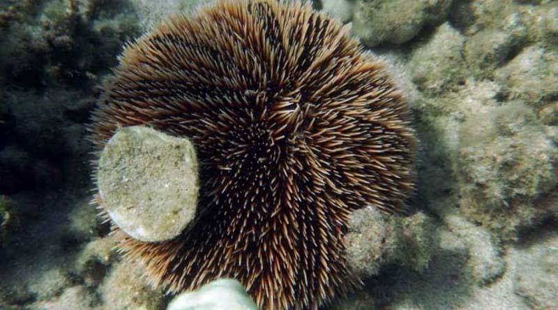 Estudio busca conocer ciclo reproductivo del erizo café, una especie sometida a sobrepesca