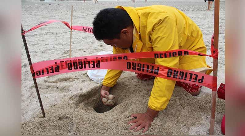 Se han protegido más de 3 mil nidadas de tortugas marinas