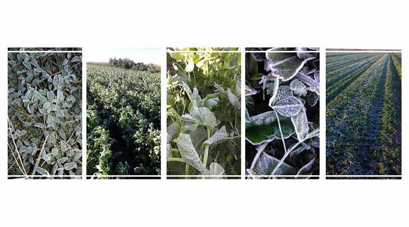 Ante bajas temperaturas, activa SEPADA protocolos de atención a cultivos