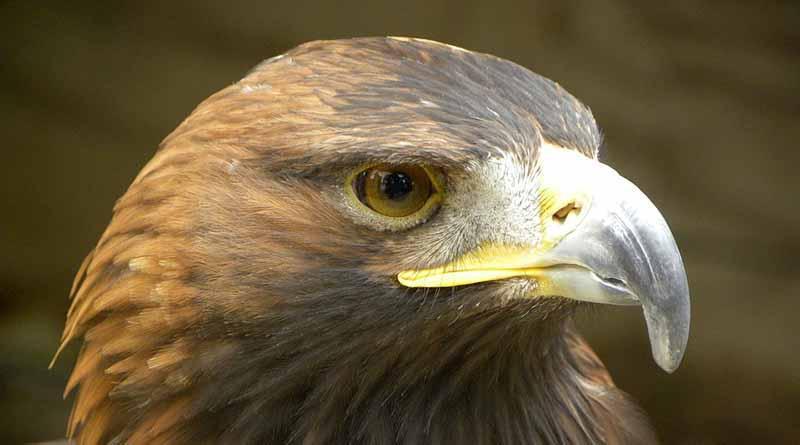 Águila real, especie símbolo de mexicanidad que debe protegerse