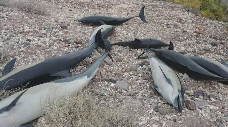 Quedan varados más de 50 delfines en playa de Pichilingue, mueren 21