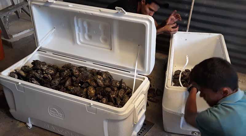 Productores de Ostión comercializan con éxito su producción en Los Cabos