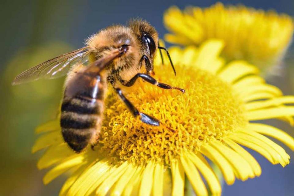 Las abejas podrían alejar a los elefantes de los humanos, revela estudio