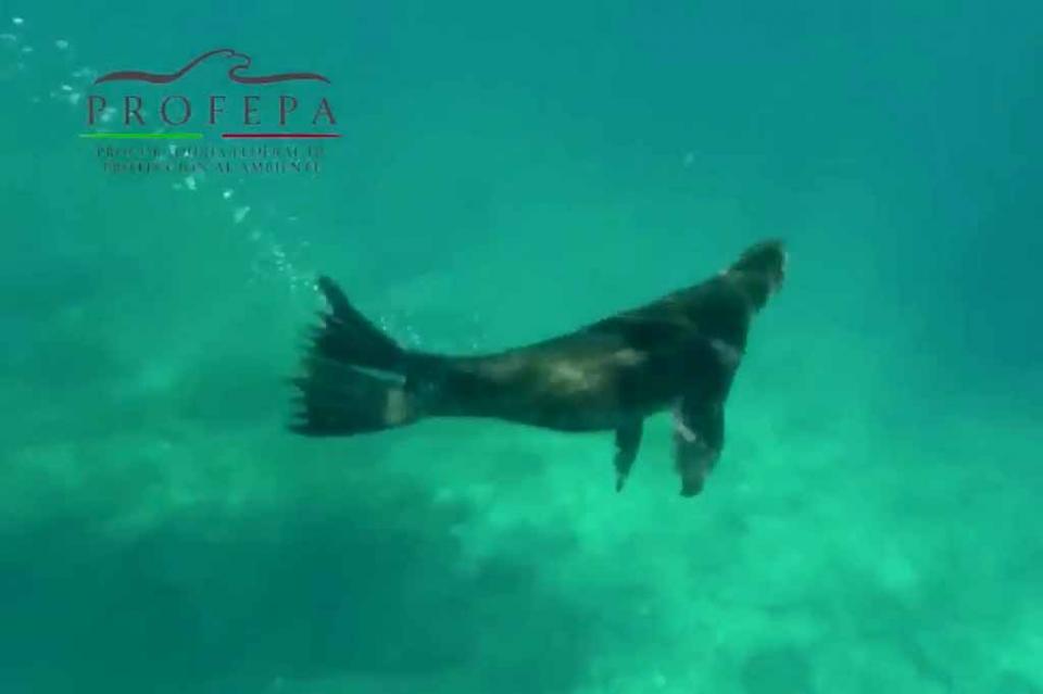 Reintegra PROFEPA un ejemplar de lobo marino de California a su hábitat natural, en B.C.S.