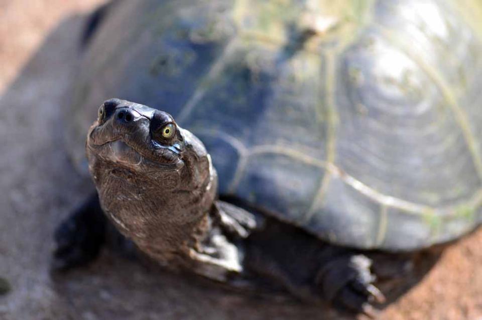 Decomisan más de mil 100 tortugas de 14 especies de las más amenazadas