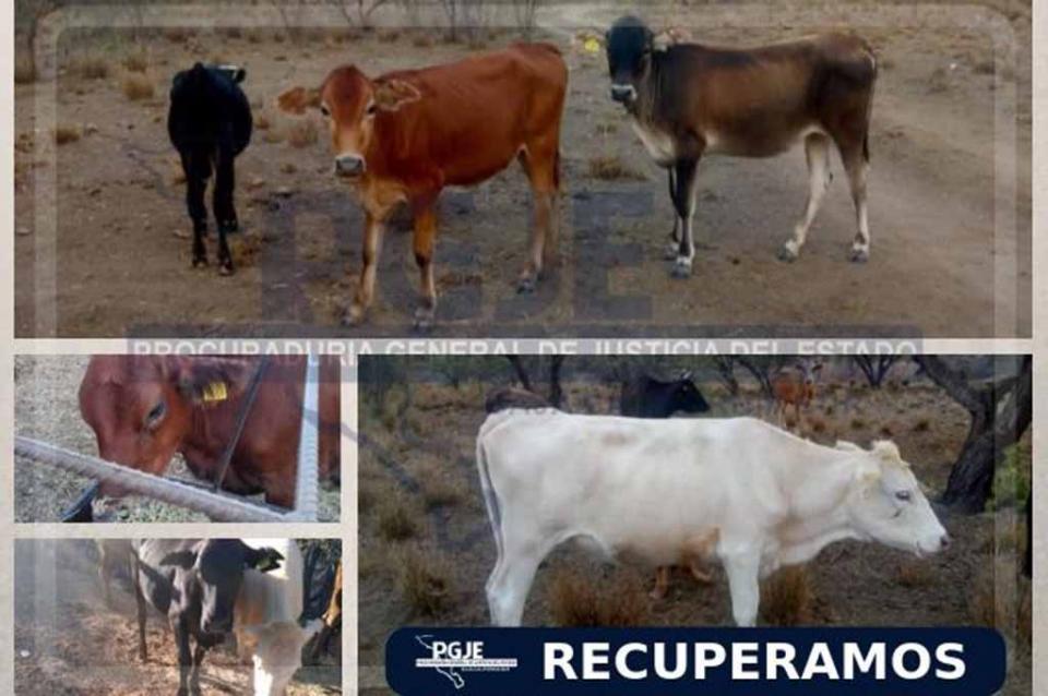 Recuperan en San Pedro 9 cabezas de ganado con reporte de robo