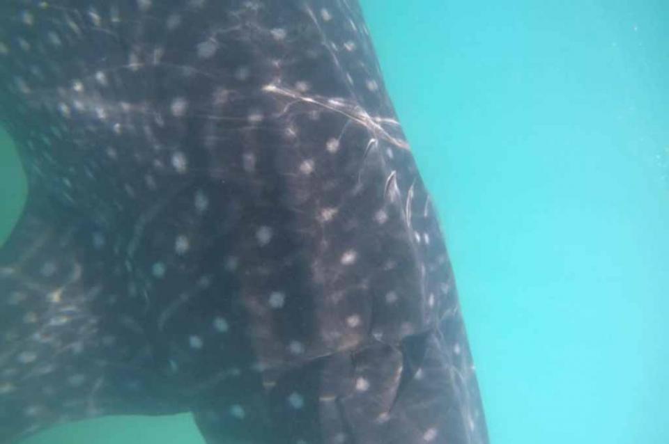 Vuelven a detectar tiburones ballena con heridas provocadas por embarcaciones