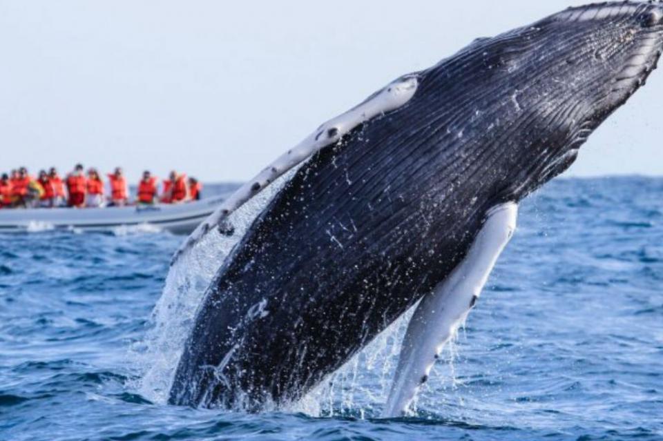 Temporada invernal, oportunidad para avistar ballenas en La Paz