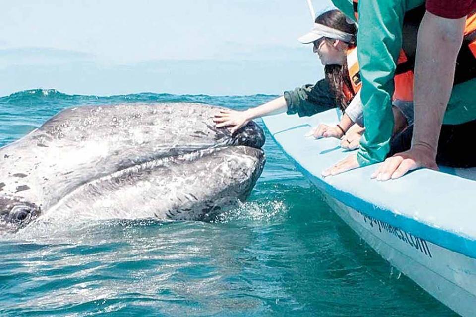 Ya comienza avistamiento de ballenas