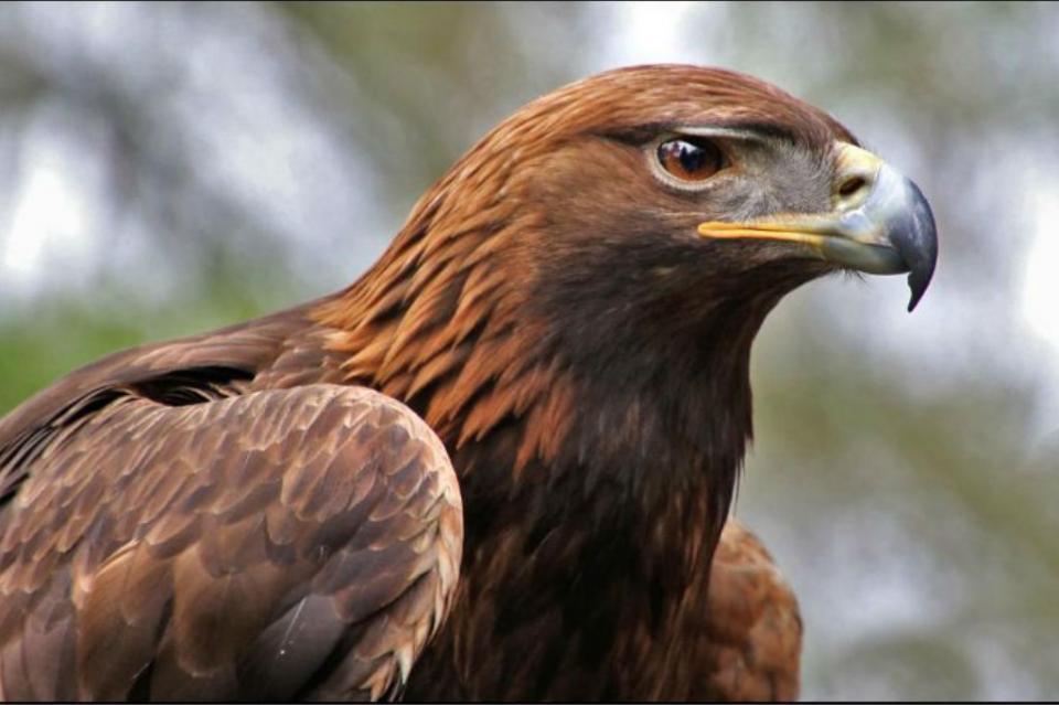 En peligro de extinción el águila real, símbolo de la mexicanidad