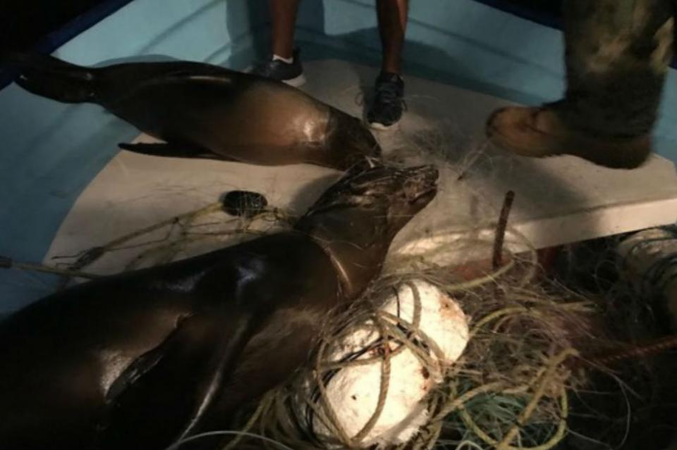 4 lobos marinos mueren atrapados en redes de pesca en archipiélago Espíritu Santo