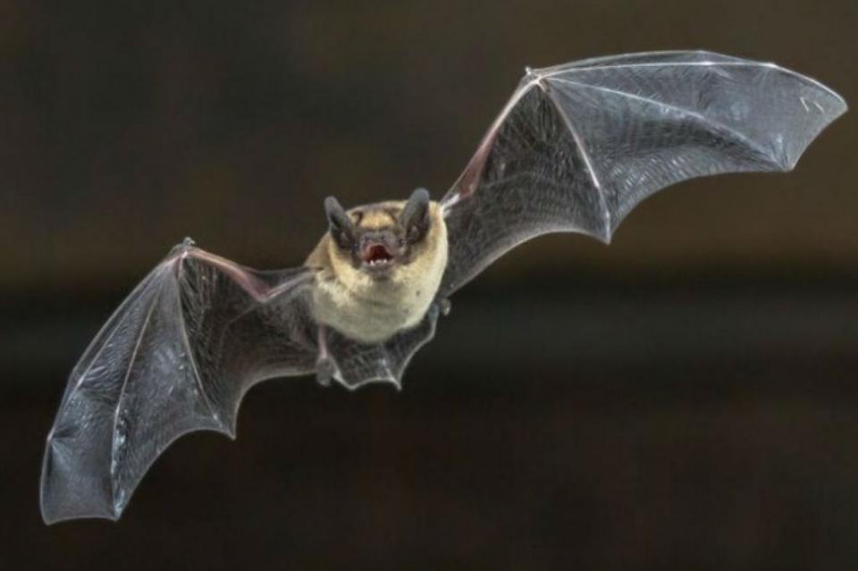 Reportan nuevas especies de murciélago en Europa y África