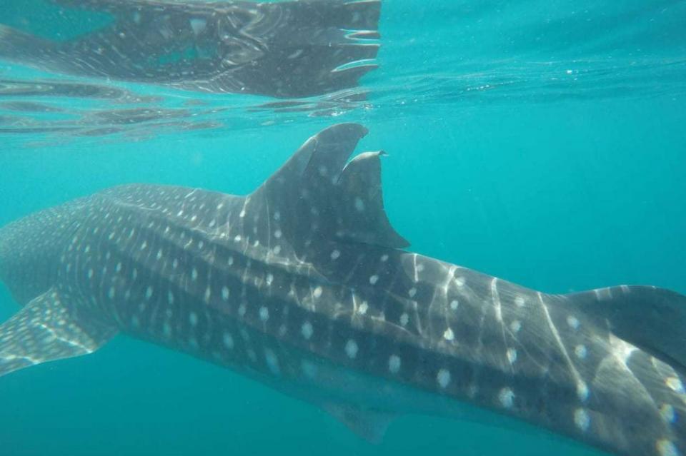 Profepa presenta denuncia ante la FGR por daño a tiburón ballena en BCS