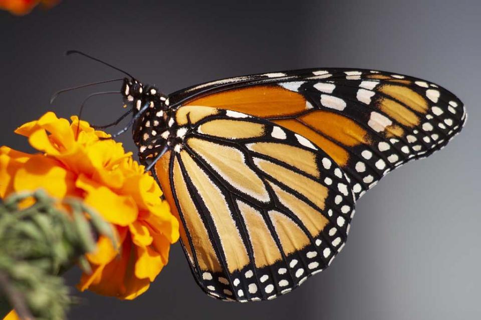 En peligro el proceso migratorio de la mariposa monarca