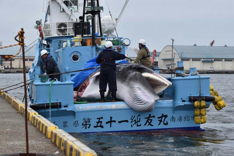 Japón vuelve a cazar ballenas con fines comerciales tras más de 30 años de interrupción