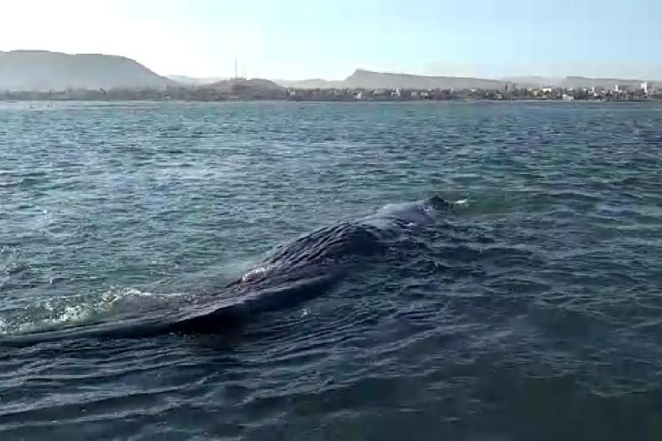 Rescatan a cachalote varado frente a Malecón en La Paz