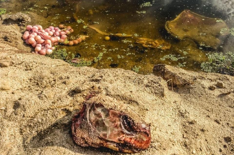 Denuncian ciudadanos tortuga destazada en playa La Bocana