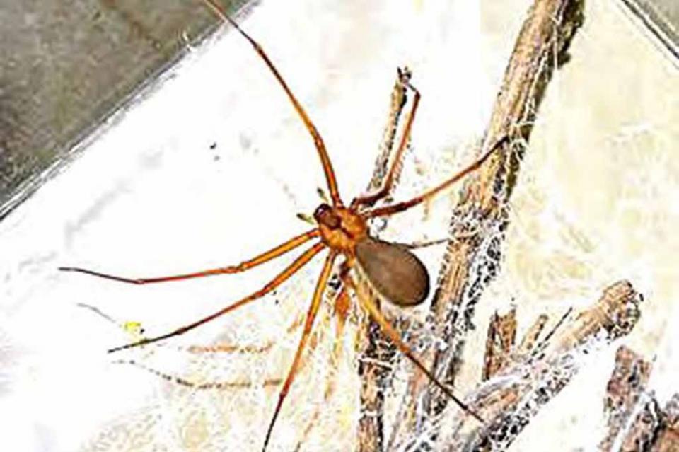 No hay suficientes dosis de antídotos contra ataque de araña violinista: Serpentario La Paz; e n BCS registradas ocho especies