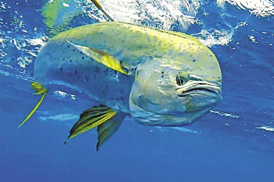 """""""Tanto el dorado como marlin son especies que se deben de proteger para la pesca deportiva que genera gran derrama económica"""": Regidor Jorge López"""