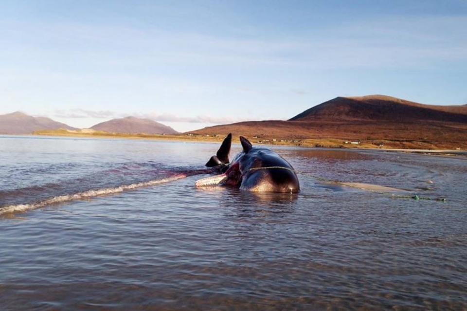 En escocia encuentran ballena muerta con más de 100 kg de basura en su estómago