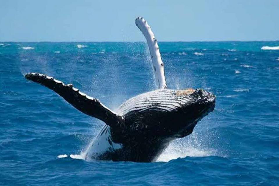 Emiten comunicado para el avistamiento de ballenas en puerto de Cabo San Lucas