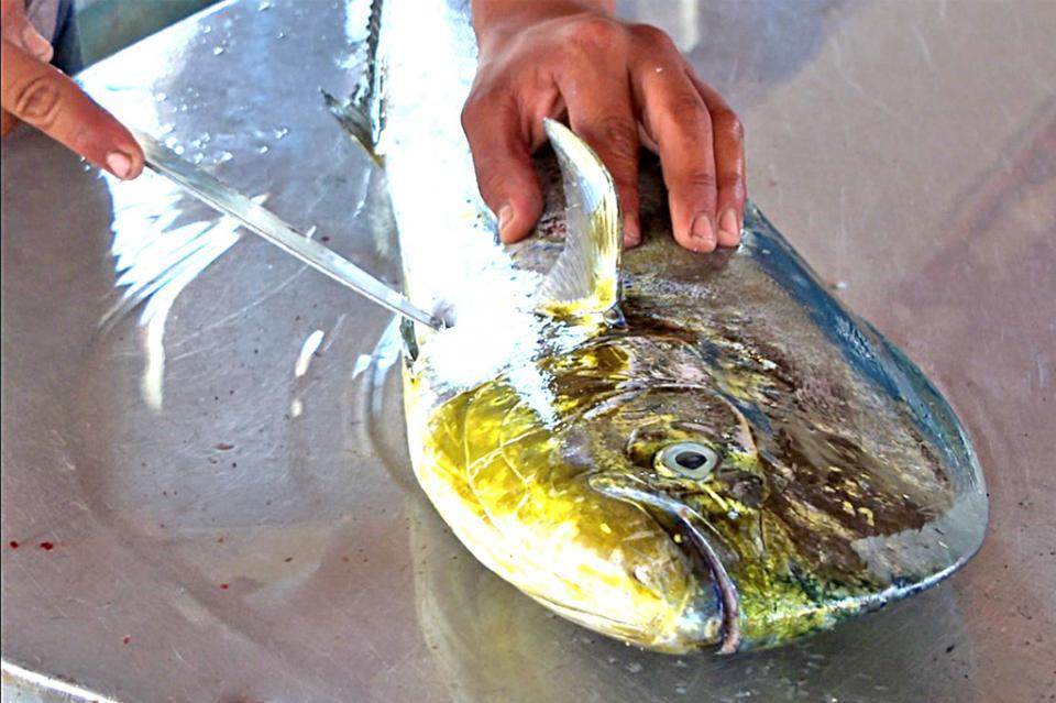 """""""Llevamos a cabo investigación en restaurantes para que no oferten pez dorado en su menú"""": Canirac Los Cabos"""