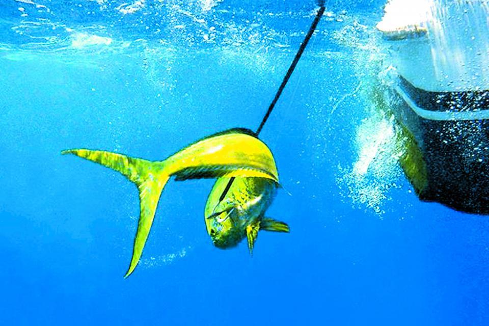 """Tema del dorado puede ser la """"puerta falsa"""" de la pesca comercial para ir por otras especies: Luis Humberto Araiza"""
