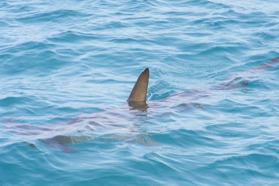 Incendios y ahora inundaciones: las lluvias dejan en Australia… tiburones en las calles