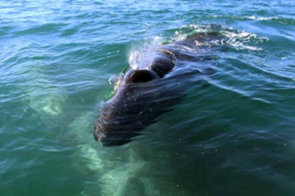 Observan a 52 ballenas grises en Pacífico Mexicano