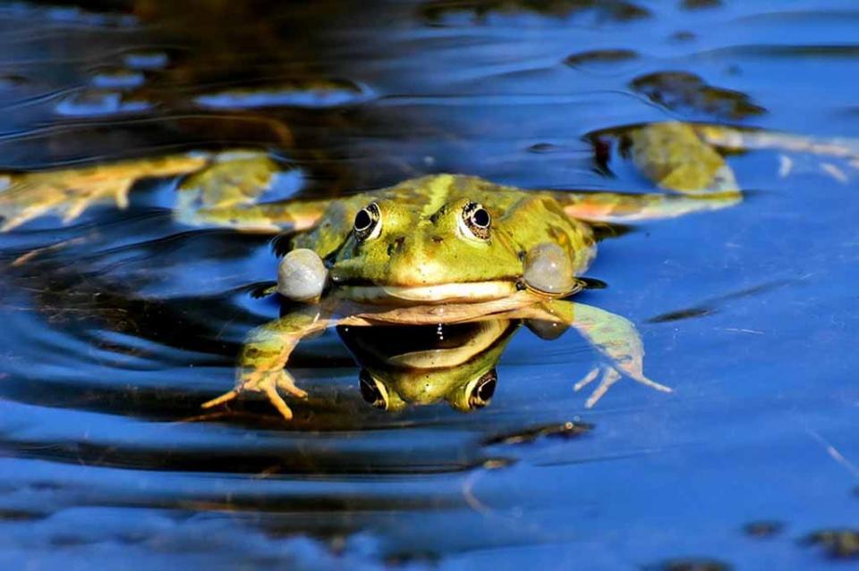 Dan vida a robots celulares con tejido de ranas