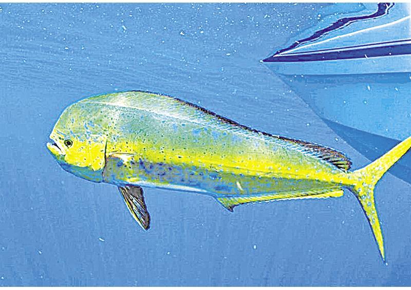 Sugiere AMLO que sudcalifornianos resuelvan sobre liberación del pez dorado