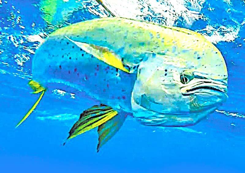 Excluyen participación de pescadores deportivos en Foro sobre pez dorado