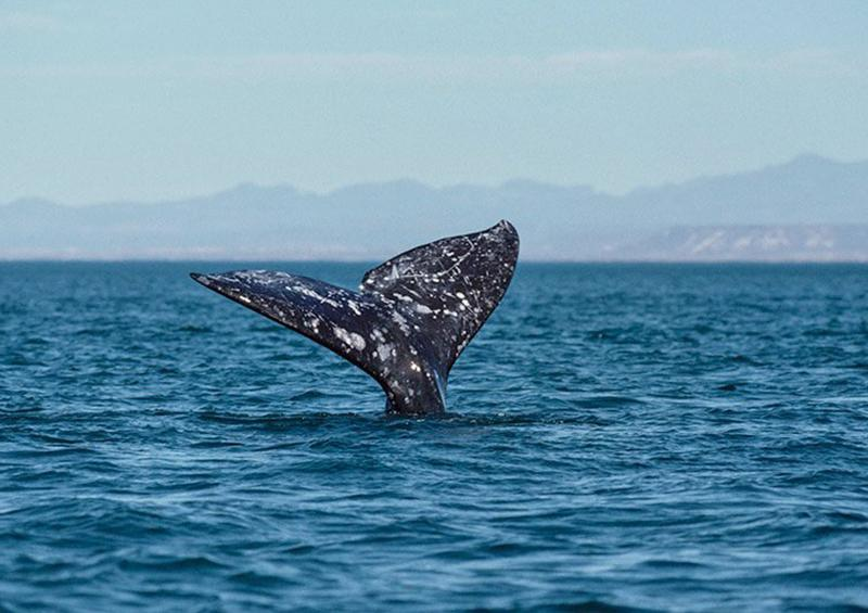 Canadá anuncia medidas para proteger ballenas