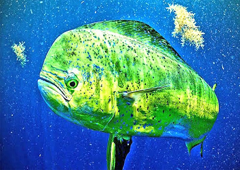 Defiende BCS postura de rechazo  a comercialización de pez dorado